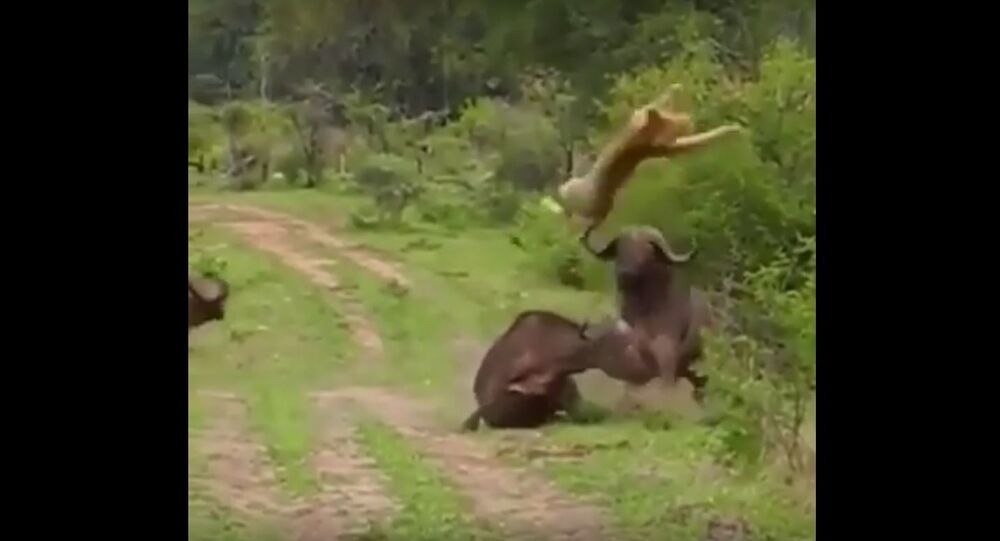 Buffalo saved another Buffalo from a lion