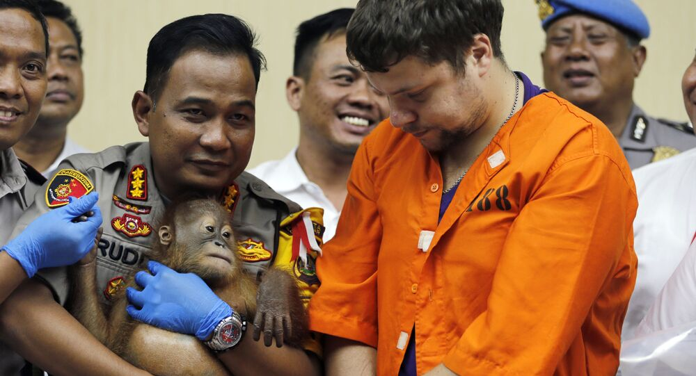 Denpasar police chief Ruddi Setiawan, center left, holds a two-year-old male orangutan as Russian Andrei Zhestkov, center right, stands during a press conference in Bali, Indonesia on Monday, March 25, 2019. Indonesian authorities have arrested the Russian tourist who was attempting to smuggle a drugged orangutan out of the resort island of Bali, a conservation official said Sunday. Orangutans are listed as critically endangered by the International Union for the Conservation of Nature.