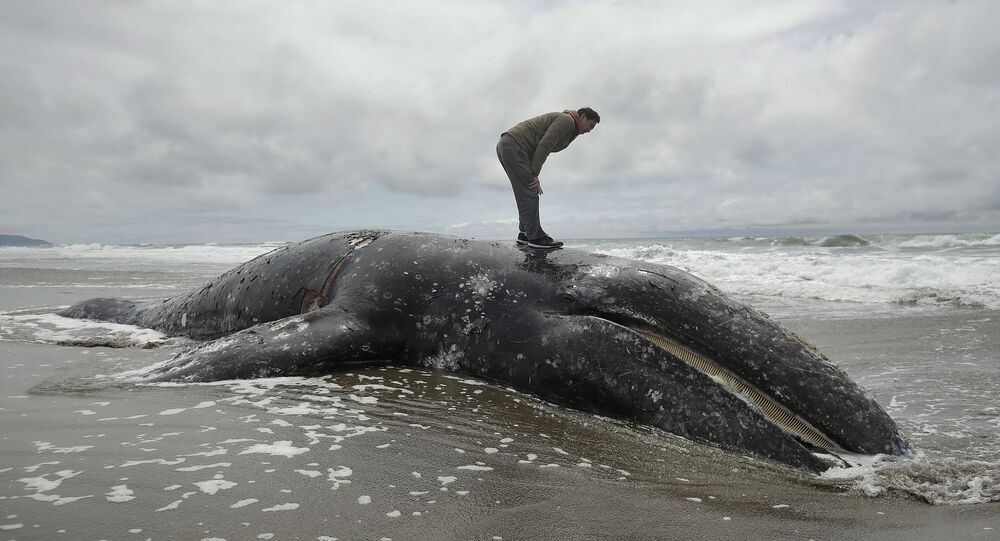 In this May 6, 2019 file photo, Duat Mai stands atop a dead whale at Ocean Beach in San Francisco. Federal scientists on Friday, May 31 opened an investigation into what is causing a spike in gray whale deaths along the West Coast this year