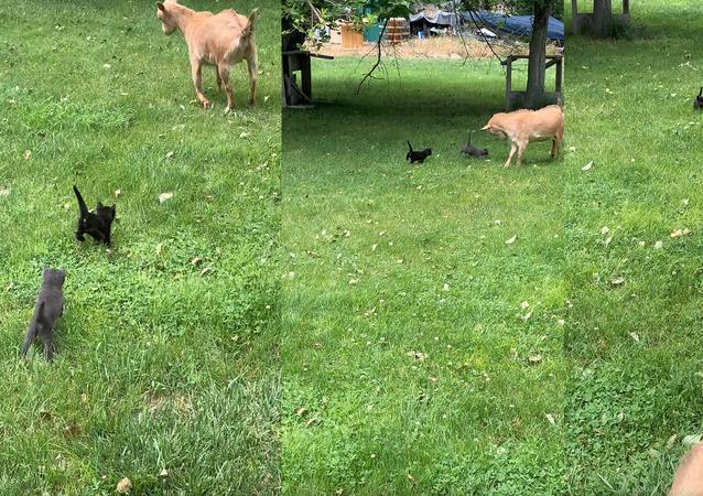 No Kidding Around: Tiny Kittens Strike Fear Into Goat