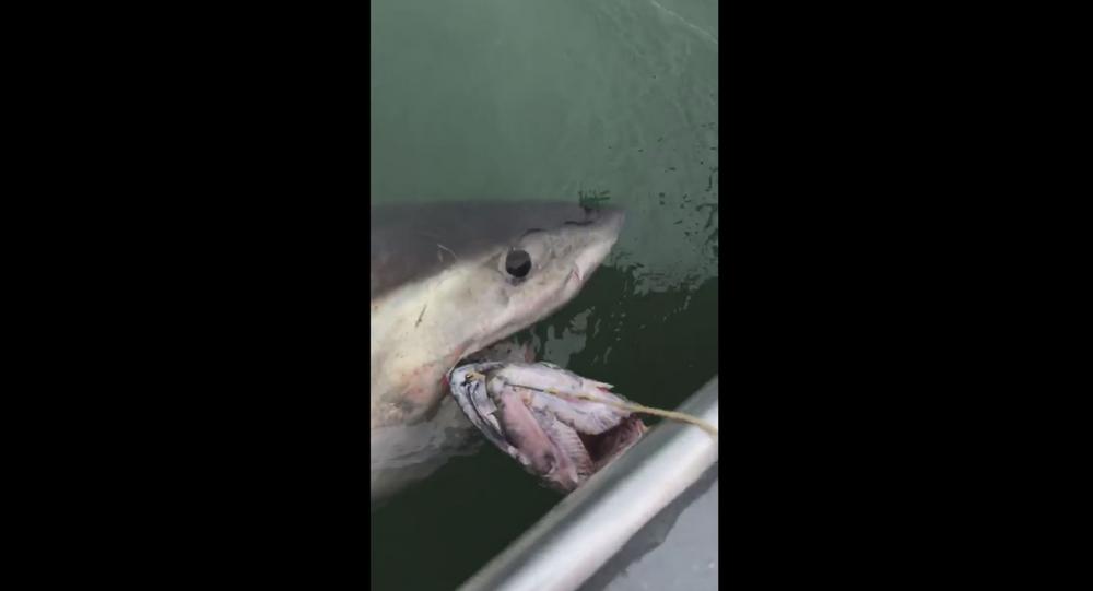 US fishermen traversing waters near California's Alcatraz Island hook great white shark