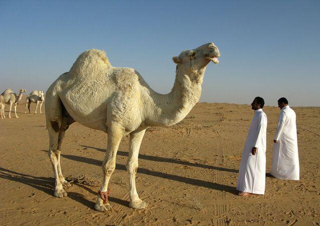 Saudi Arabia Camel