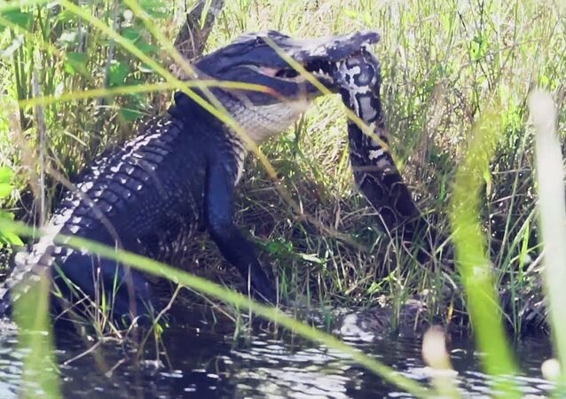 Alligator catches a python in its jaws, thrashes mouth in a display of power