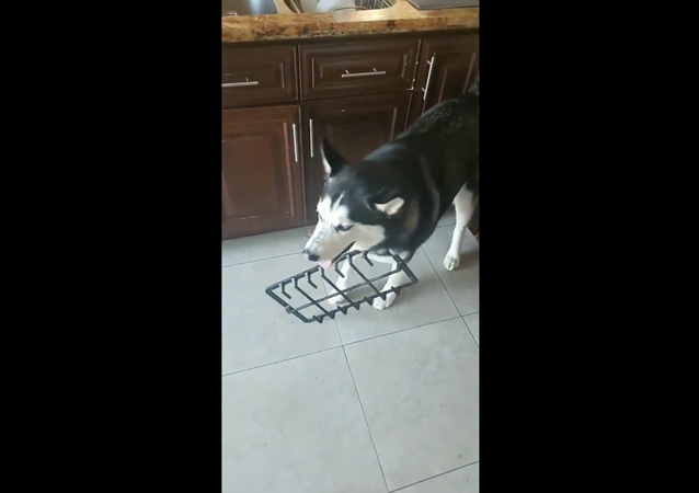 Husky Fails at Sneakily Nabbing Freshly Cooked Cookies