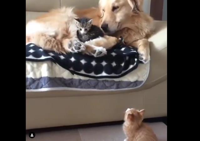 Golden retriever and cats
