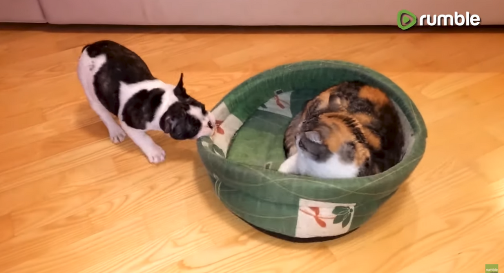 Pup Fights Cat Over Stolen Doggy Bed