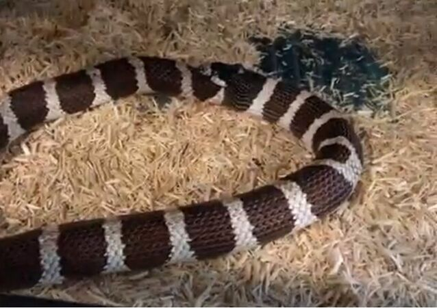 Hungry kingsnake