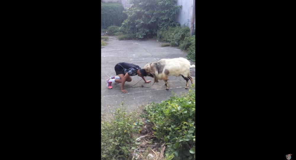 Filipino Man, Goat Engage in Impromptu Fighting Match