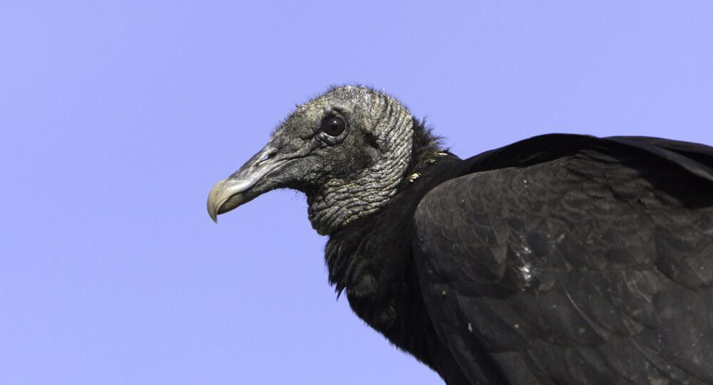 In this April 2009 photo, a black vulture perches on a fence post at Shepherd of the Hill Fish Hatchery in Branson, Mo. Black vultures have extended their range from South America and the southeastern U.S. into Midwestern states such as Missouri, Illinois, Indiana and Ohio. Like the more common turkey vulture, the black vulture feeds off dead animals, but unlike the turkey vulture, it also attacks live animals. Cattle producers have reported that newborn calves are particularly vulnerable to fatal attacks.