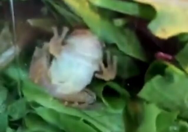 A living frog was found to be hiding inside a box of salad lettuce