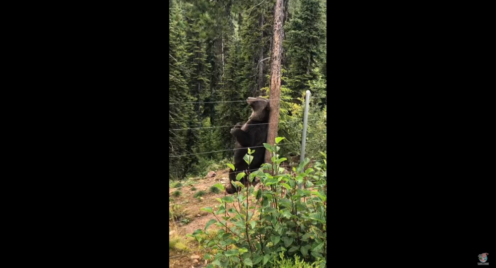 Canadian Grizzly Bear Soothes Itchy Back on Tree