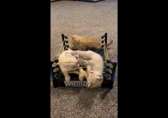 Wrestling Kittens Battle Each Other in WWE's WrestleMania Ring