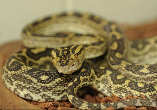 Habu snake