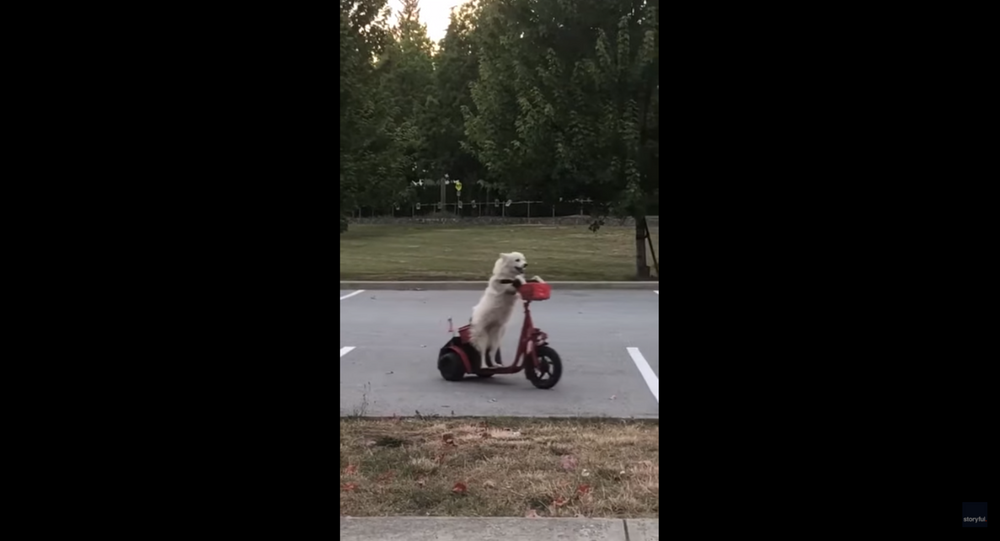 Spotted: Canadian Dog Shows Off Scooter Skills