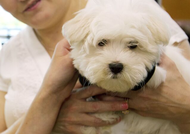 A customer shows her new puppy at a pet store in Columbia, Md., Monday, Aug. 26, 2019. Pet stores are suing to block a Maryland law that will bar them from selling commercially bred dogs and cats, a measure billed as a check against unlicensed and substandard puppy mills. (AP Photo/Jose Luis Magana)