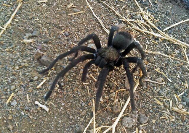 This 12 August 2013 photo, provided by the National Park Service, shows a tarantula at the Rancho Sierra Vista park site within the Santa Monica Mountains National Recreation Area northwest of Los Angeles near Newbury Park, California.