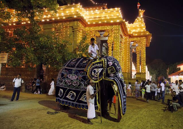 In this Thursday, Jan. 12, 2017 photo, Sri Lankan mahouts dress their tamed elephant before the beginning of the annual Duruthu Perahera festival of the Kelani Buddhist temple in Colombo, Sri Lanka