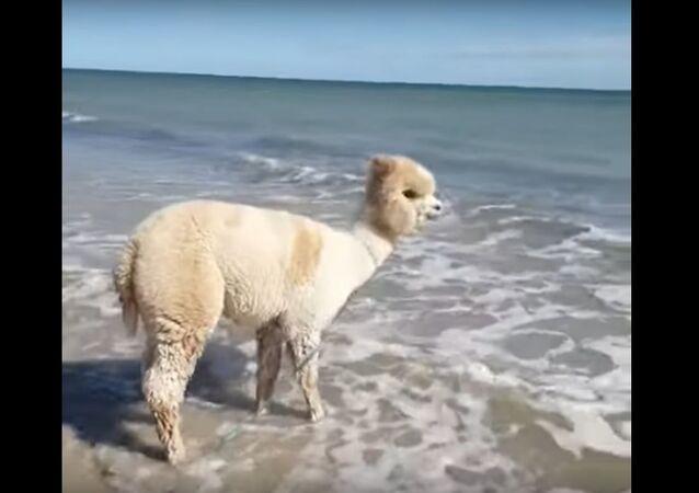 Alpaca Plays at the Beach