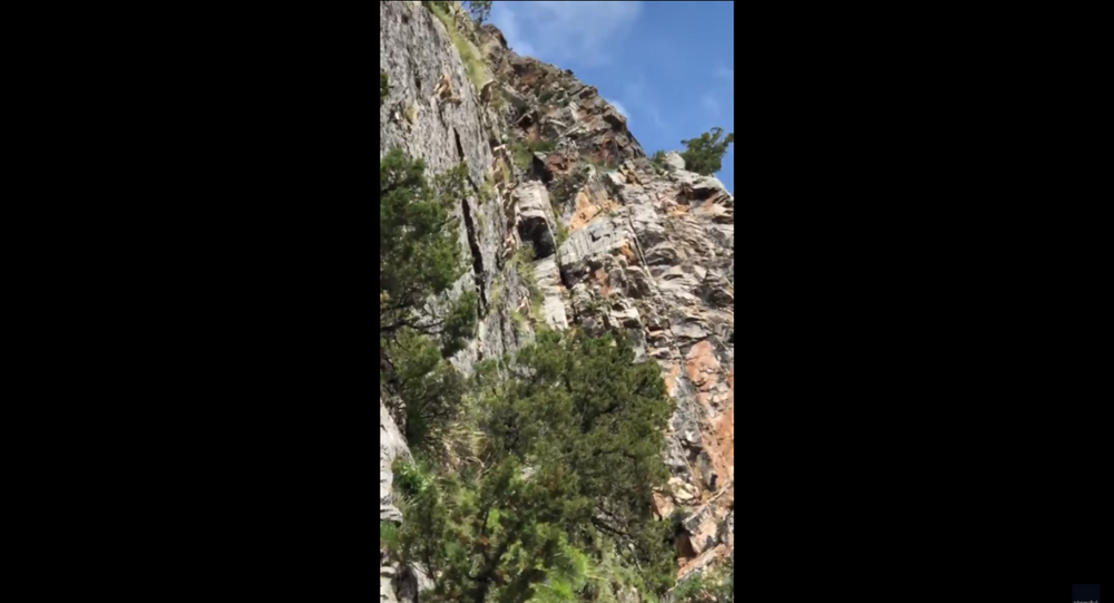 Nimble Himalayan Sheep Defy Gravity During Steep Cliff Ascent