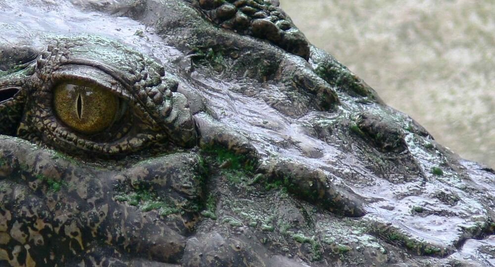 A close-up of a crocodile, photographed on August 3, 2006.