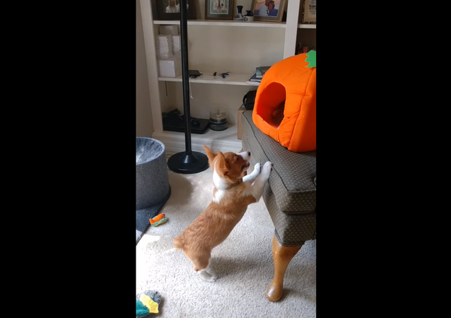Corgi Pup Denied Attention by Fed-Up Cat