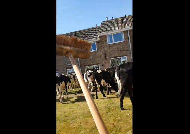 UK Woman Launches War on Garden-Eating Cows