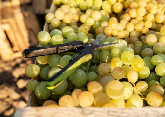 Grapes and garden shears in Crimea