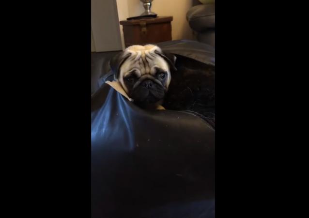Mischievous Pug Gets Stuck in Bean Bag