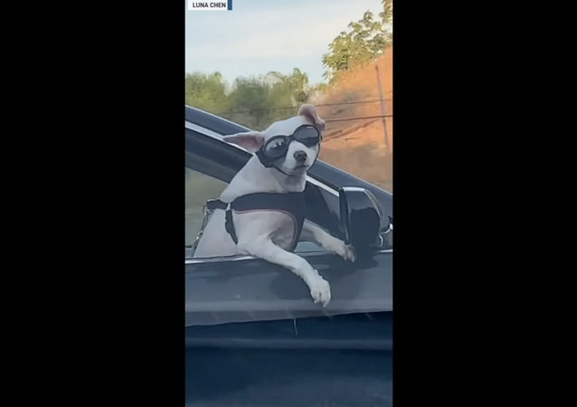 Sunglass-Wearing Dog Gives Commuters Lesson on Being Cool
