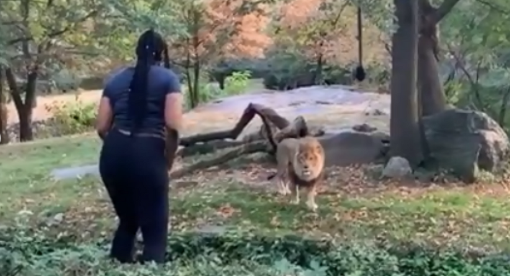 Unidentified New York woman jumps into Bronx Zoo enclosure and taunts lion. An investigation into the matter is underway by both zoo officials and law enforcement officials.