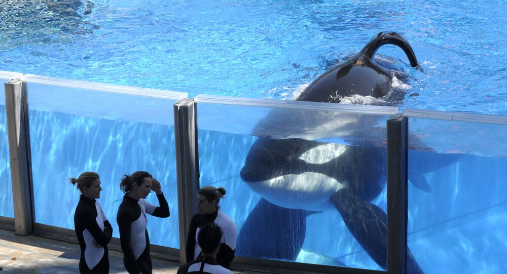 In this Monday, March 7, 2011, file photo, killer whale Tilikum, right, watches as SeaWorld Orlando trainers take a break during a training session at the theme park's Shamu Stadium in Orlando, Fla. SeaWorld is ending its practice of killer whale breeding following years of controversy over keeping orcas in captivity.
