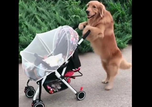 Golden Retriever and a Baby