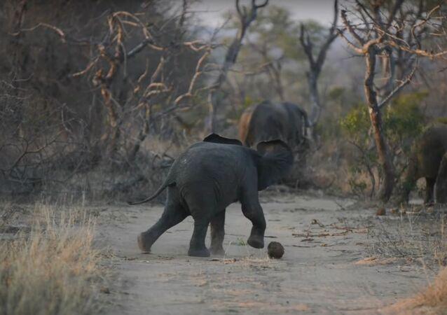 Elephant's Got Talent - Soccer