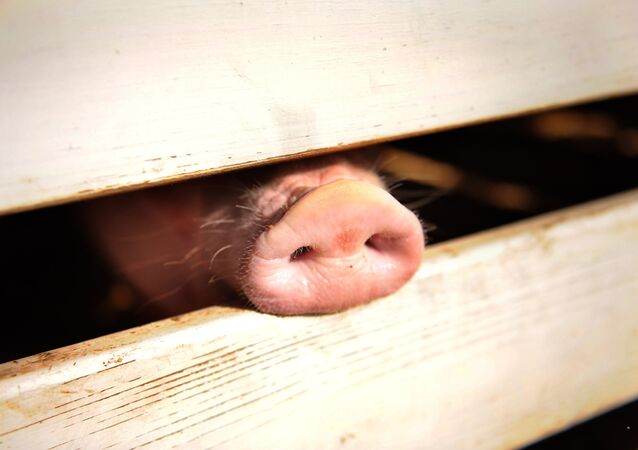 A pig pokes his snout