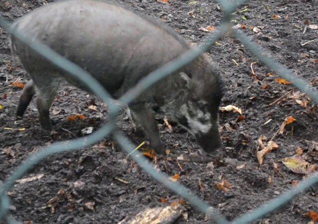 Visayan Warty Pigs Using Tools