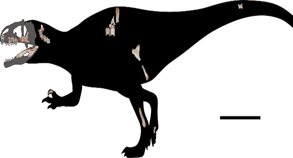 The newly-discovered giant reptile is four times the length of another formidable Jurassic-era raptor - the velociraptor.