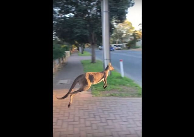 Kangaroo Jumps Into Oncoming Traffic in South Australia