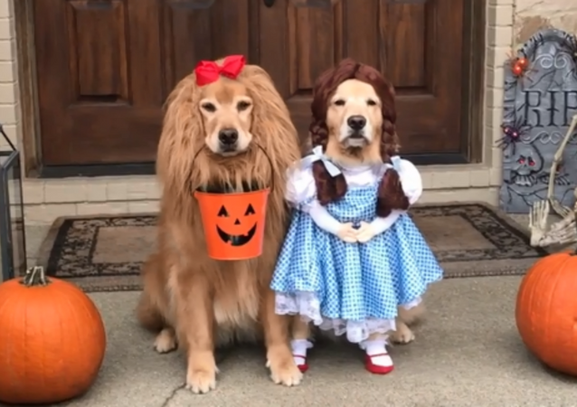 Adorable Golden Retrievers Don 'Wizard of Oz' Costumes