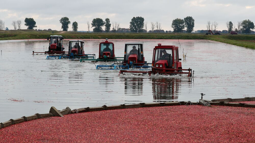 Workers drive machines that harvest cranberries at a state farm in the village of Selishche, Belarus, October 7, 2019.
