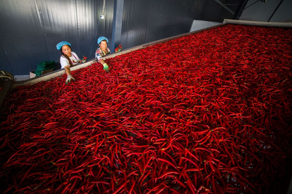 Female workers are sorting chilli peppers at a cooperative in Yangchang town, Dafang county, Bijie in China's southwest Guizhou Province on October 7, 2019.
