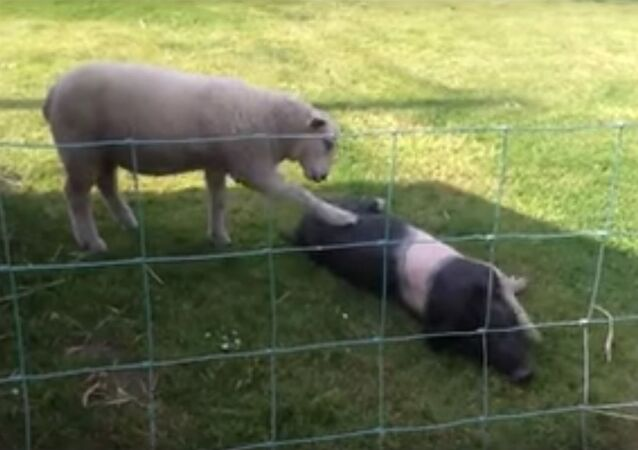 English Lamb Wants Pig Friend to Play NOW