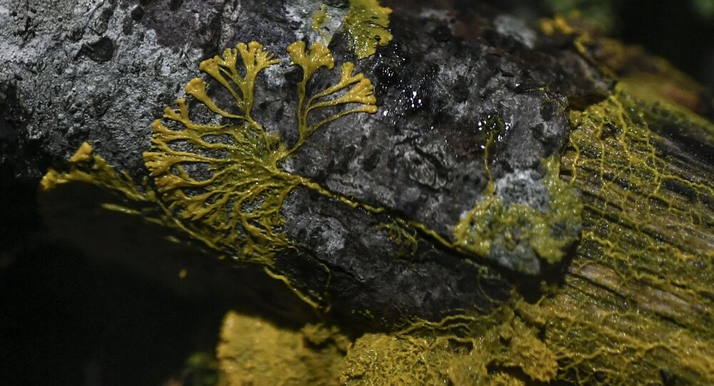A picture taken on October 16, 2019 at the Parc Zoologique de Paris (Paris zoological gardens) shows a Physarum Polycephalum better known as a Blob, an unicellular organism neither plant, mushroom nor animal and capable of learning despite its lack of neuron