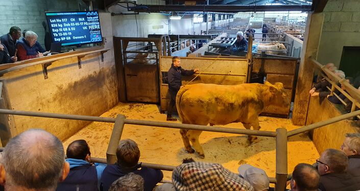 A bullock is auctioned off at a market in Enniskillen, Northern Ireland on 17 October 2019