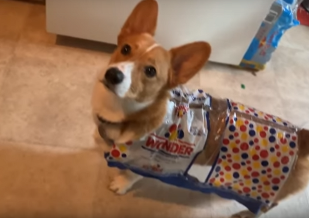Adorable Corgi Dons Wonder Bread Halloween Costume