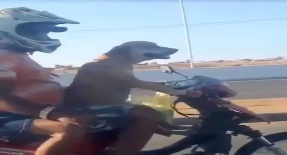 Dog riding motorcycle on a highway