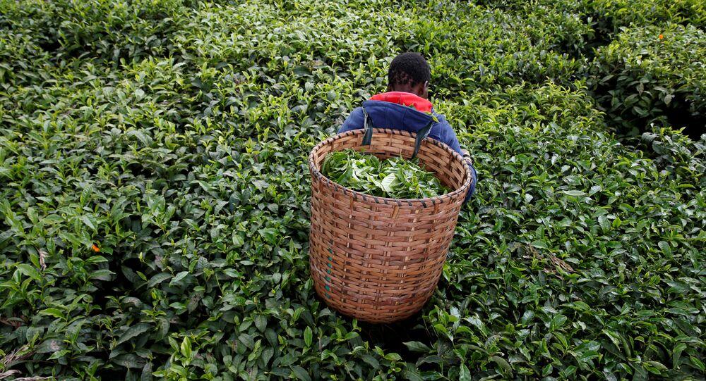 A woman picks tea leaves at a plantation in Kiambu County, near Nairobi, Kenya, April 26, 2018