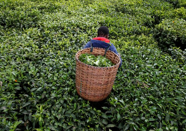 A woman picks tea leaves at a plantation in Kiambu County, near Nairobi, Kenya, April 26, 2018
