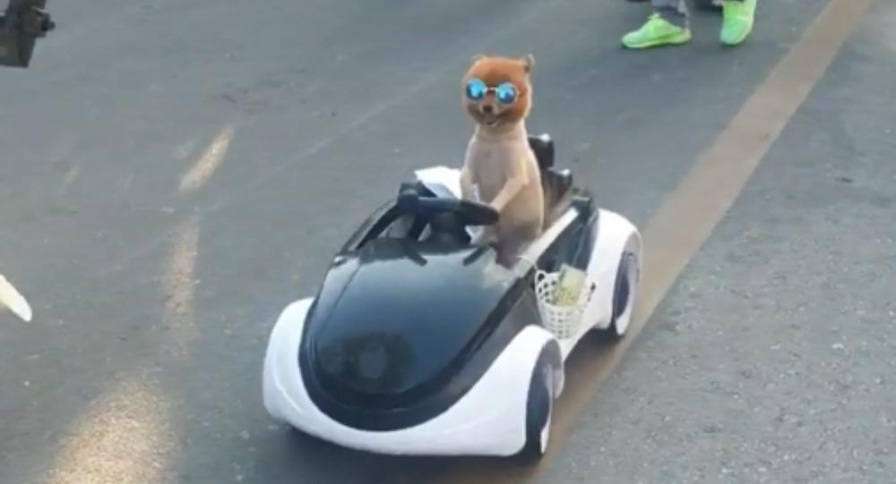 Toy Dog 'Drives' Car Through Thai Market