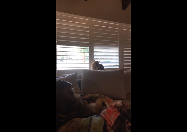 Clever House Cat Owns Dad Amid Blind Brawl