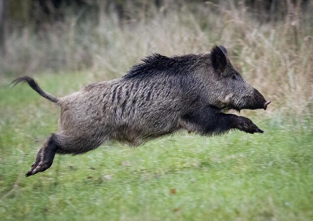A wild boar runs over a glade in a forest in the Taunus region near Frankfurt, Germany, Friday, Nov. 9, 2019. (AP Photo/Michael Probst)